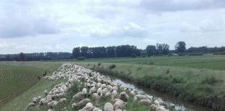 Wichtige Landschaftspflege am Lorscher Weschnitzdamm (Foto: Schäferei Volk)