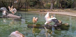 Die Rosa Pelikane genießen das Bad und die Sonne (Foto: Zoo Heidelberg)