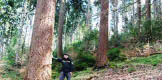 Förster Bernhard Lippert in einem Nadelholzbereich mit starken Douglasien (Foto: Landratsamt Rhein-Neckar-Kreis)
