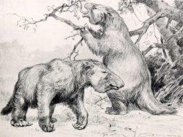 """Die Faultiere waren zu schwer um auf den Bäumen zu leben (Zeichnung von Robert Bruce Horsfall aus """"A history of land mammals in the western hemisphere"""".)"""