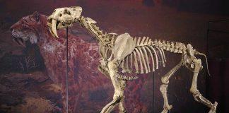 1:1-getreues Skelettmodell der in dieser Zeit ausgestorbenen Siedler-Säbelzahnkatze (Foto: Staatliches Museum für Naturkunde Karlsruhe)