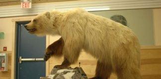Hybridbären wie der Pizzly oder Grolar – eine Mischung zwischen Polarbär und Grizzly – sind nicht so selten wie bisher angenommen. (Foto: Andrew E. Derocher)