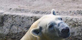 Kap auf Erkundungstour (Foto: Zoo Karlsruhe)