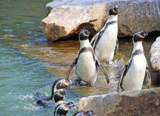 Die Humboldtpinguine stehen am 25. April im Mittelpunkt von speziellen Führungen. (Foto: Zoo Karlsruhe)