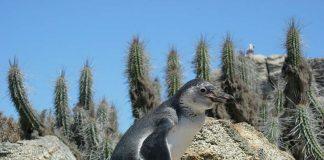 Foto: Sphenisco – Schutz des Humboldt-Pinguins e.V.