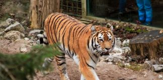 Tiger (Foto: Zooschule Landau)