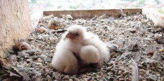 Auf dem Turm der Bernharduskirche sind junge Falken geschlüpft. (Foto: Stadt Karlsruhe)