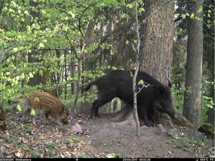Zwei Wildschweine (Foto: Stadtverwaltung Eberbach)