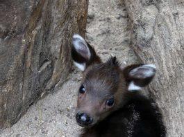 Schopfhirschjunges in Heidelberg am 4. Juni geboren (hier ca. 2 Wochen alt) (Foto: Petra Medan/Zoo Heidelberg)