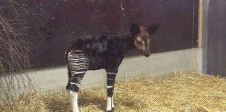 Okapi-Jungtier (Foto: Zoo Frankfurt)