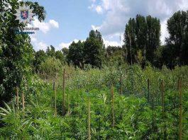 Hanfplantage im Pfungstädter Moor