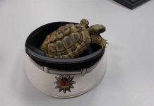 Die aufgefundene Schildkröte (Foto: Polizei RLP)