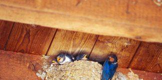 Gefiederte Untermieter: Schwalben sind auf Nistplätze an Gebäuden angewiesen und können dem Menschen als Insektenjäger nützlich sein: Eine Schwalbenfamilie verputzt während einer Brut mehr als ein Kilogramm Insekten. (Foto: Fabian Neubrand)