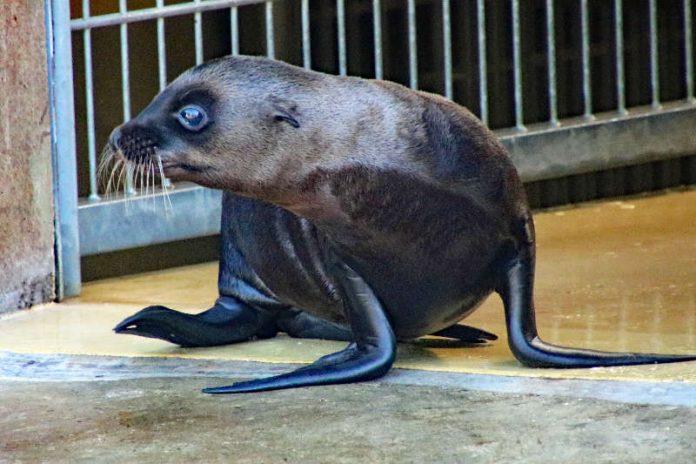 Auf dem Weg ins Außengehege: Der kleine Seelöwe im Zoo Karlsruhe (Foto: Zoo Karlsruhe)