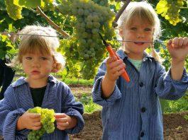 Mit vollem Einsatz dabei: Die zweijährige Antonia (l.) und ihre vier Jahre alte Schwester Franziska vom Weingut Mohr-Gutting lesen Solaris-Trauben in Neustadt an der Weinstraße (Foto: DWI)