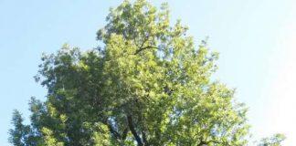 Baum auf Friedhof (Foto: Stadtverwaltung Sinsheim)