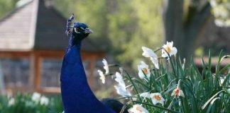 Pfau (Foto: T. Schmeing/Zoo Landau)