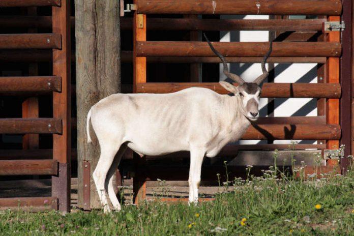 Addax-Antilope Paddy im Zoo (Foto: Zoo Frankfurt)