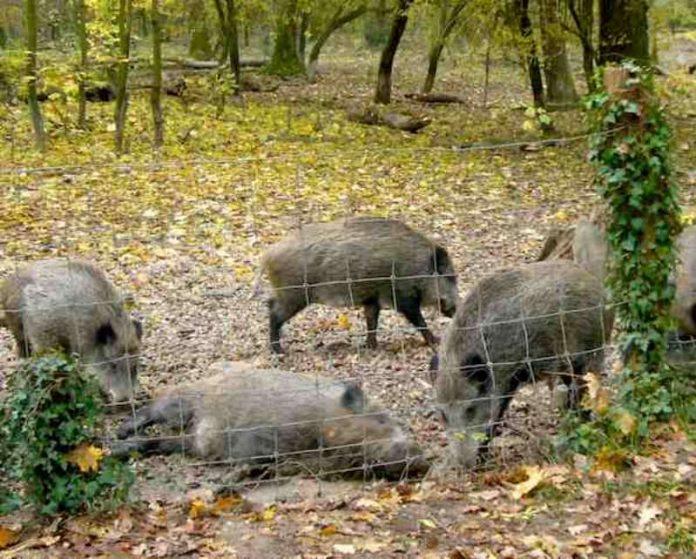 Wildschweingehehe auf Rappenwört (Foto: Hannes Blank)