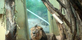 Neues Löwen-Männchen Kumar in seinem Gehege im Zoo (Foto: Heike Lyding)