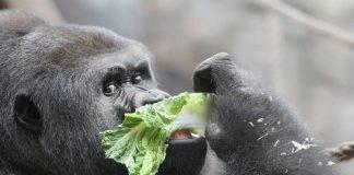 Gorilla VIATU (Foto: Matthias Besant)