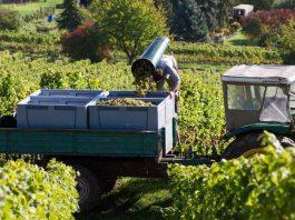 Die Weinlese endet dieses Jahr früher als sonst (Foto: DWI)