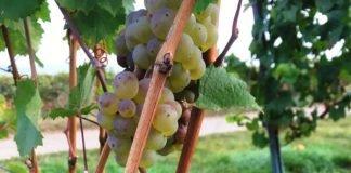 Mit der Ernte der vollreifen Rieslingtrauben wird die diesjährige Weinlese in Hessen beendet. (Foto: RP Darmstadt)