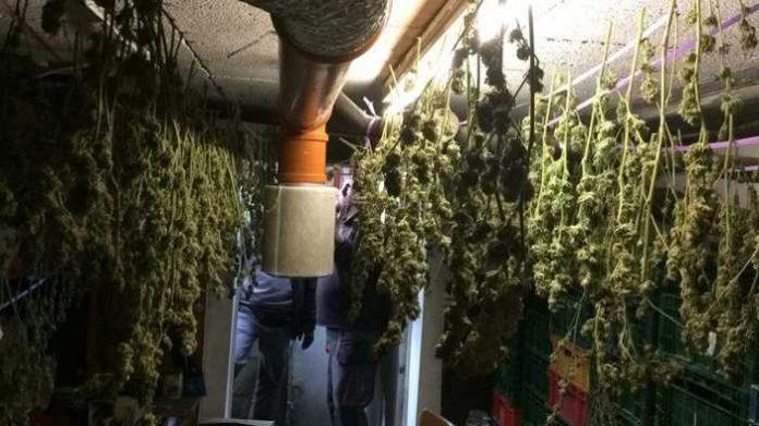 Die zum Trocknen aufgehängten Marihuana-Pflanzen.