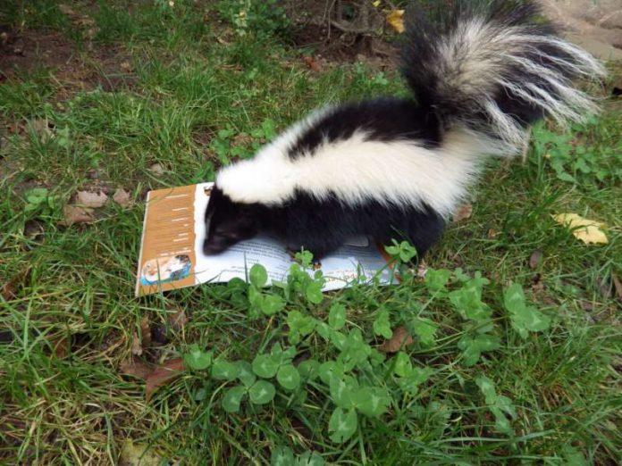 Auch Stinktier ARMANI ist ein großer Bücherfan (Foto: Zooschule Heidelberg)