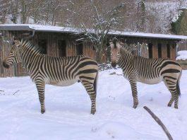 Zebra (Foto: Zoo Landau)
