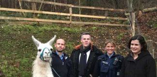 Ein Zaun und die Polizei hinderten die Lamas daran, auf den Sportplatz zu gelangen