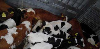Kontrolle der Beladungsdichte eines Tiertransportes auf der A 6