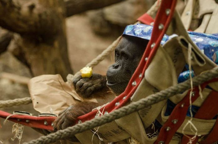 Orang Utan (Foto: Sascha Klacke)