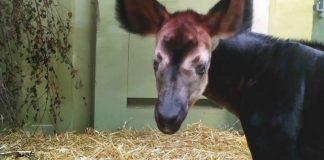 Okapi-Jungtier im Zoo (Foto: Zoo Frankfurt)