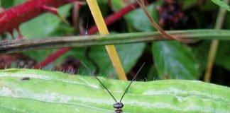 Insekt des Jahres 2018: Die Gemeine Skorpionsfliege Panorpa communis. (Foto: Rainer Willmann)