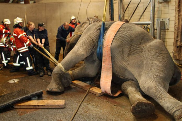 Lina wird aufgerichtet (Foto: Zoo Karlsruhe)
