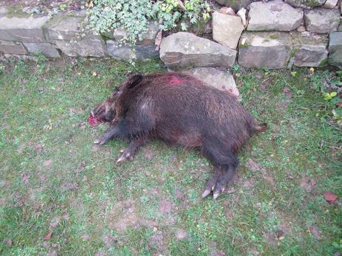 Das erlegte Wildschwein