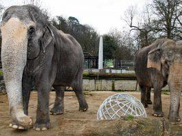Die Elefantenkühe Rani (links) und Nanda stehen auf der Außenanlage. Im Hintergrund ist der Bauzaun rund um das alte Südamerikahaus zu sehen. (Foto: Zoo Karlsruhe)
