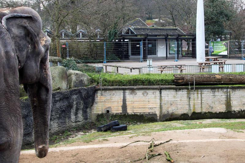 Der Blick von Elefantenkuh Rani geht in Richtung des alten Südamerikhauses. Dieses wird abgerissen, der dortige Bereich Teil der neuen Außenanlage (Foto: Zoo Karlsruhe)