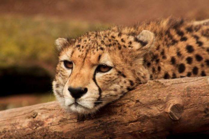 Gepard (Foto: Zoo Landau)
