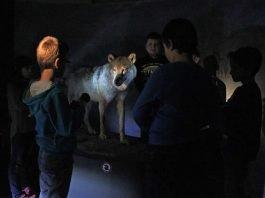 Nachts im Pfalzmuseum – Dem Wolf auf der Spur. (Foto: Pfalzmuseum für Naturkunde)