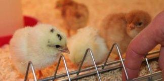 Hühnerküken - vom ersten Tag an selbständig und neugierig. (Foto: Pfalzmuseum für Naturkunde)