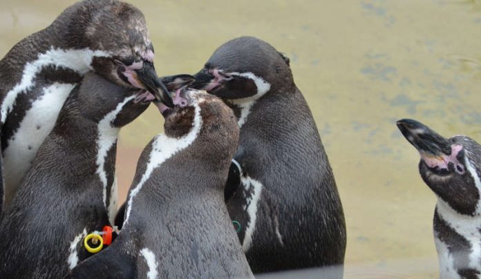 Pinguine bei Paarung (Foto: Stadtpark Mannheim)