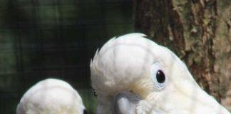 Rotsteißkakadus (Foto: Zoo Landau)