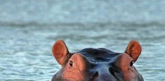 Hippopotamus amphibius (Foto: Pixabay)