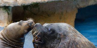 Mähnenrobben (Foto: Heidrun Knigge/Zoo Heidelberg)
