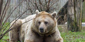 Der Syrische Braunbär Martin kam Ende 2017 in den Zoo Heidelberg. (Foto: Heidrun Knigge)