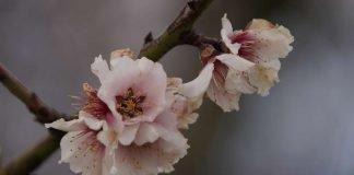 Dieses Jahr war das Wetter nicht förderlich für die Mandelblüten. Viele Blüten sind teilweise abgestorben. (Foto: Holger Knecht)
