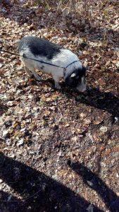 Das entlaufene Hängebauchschwein