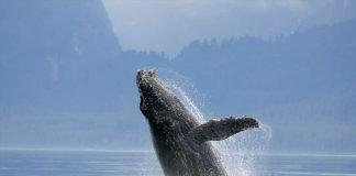 Auch das Genom des Buckelwals wurde untersucht. (Foto: Florian Schulz)